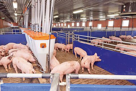 Tov svinja