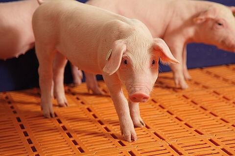 Uzgoj svinja